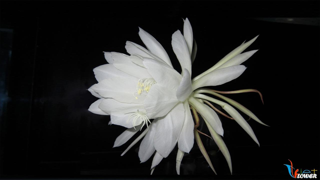 hoa-quynh