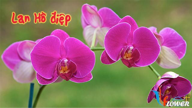 Lan Hồ điệp (Phalaenopsis manii Reichb. f.)