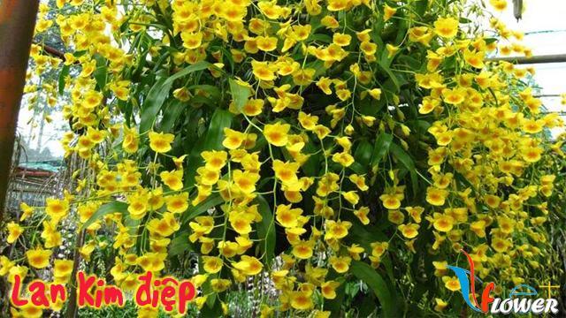 Lan Kim điệp (Den. Chrysotosum Lindl. var. Delacourii Gagn.)