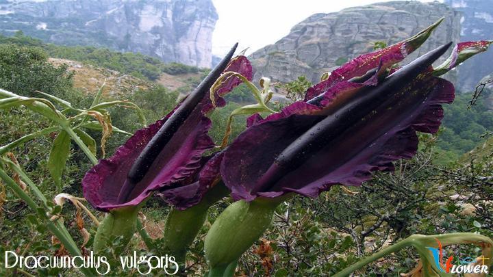 Dracuunculus vulgaris