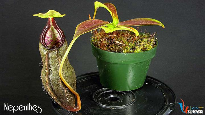 Nepenthes, hoa nắp ấm
