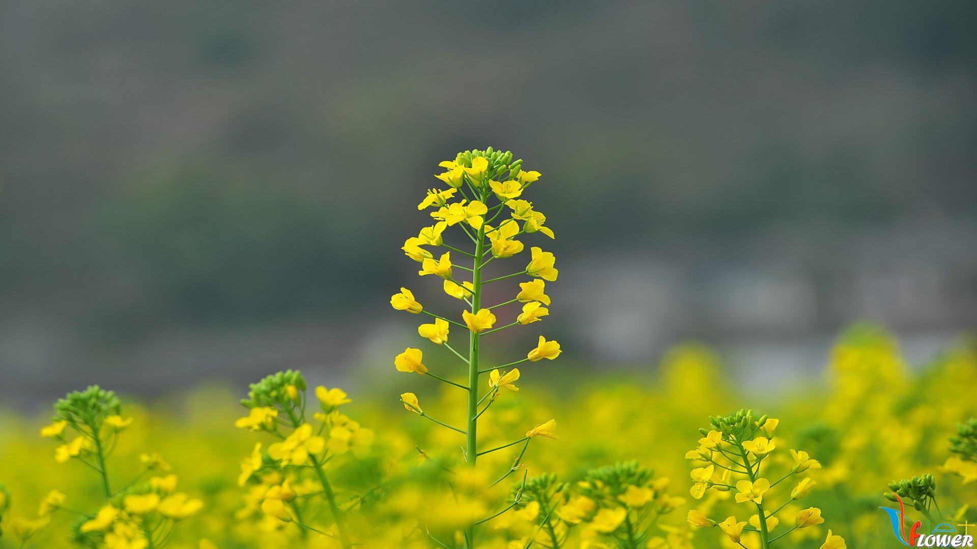 cánh đồng hoa cải đẹp như mơ