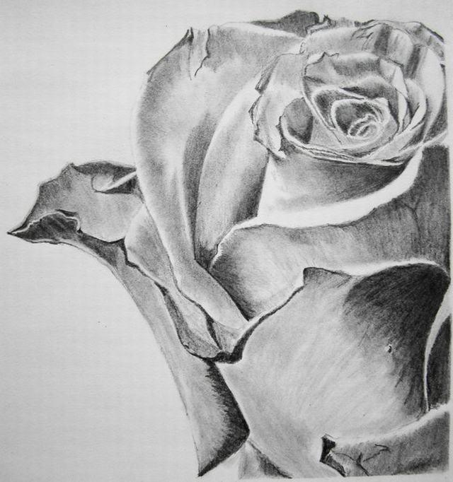 hình vẽ hoa hồng bằng bút chì
