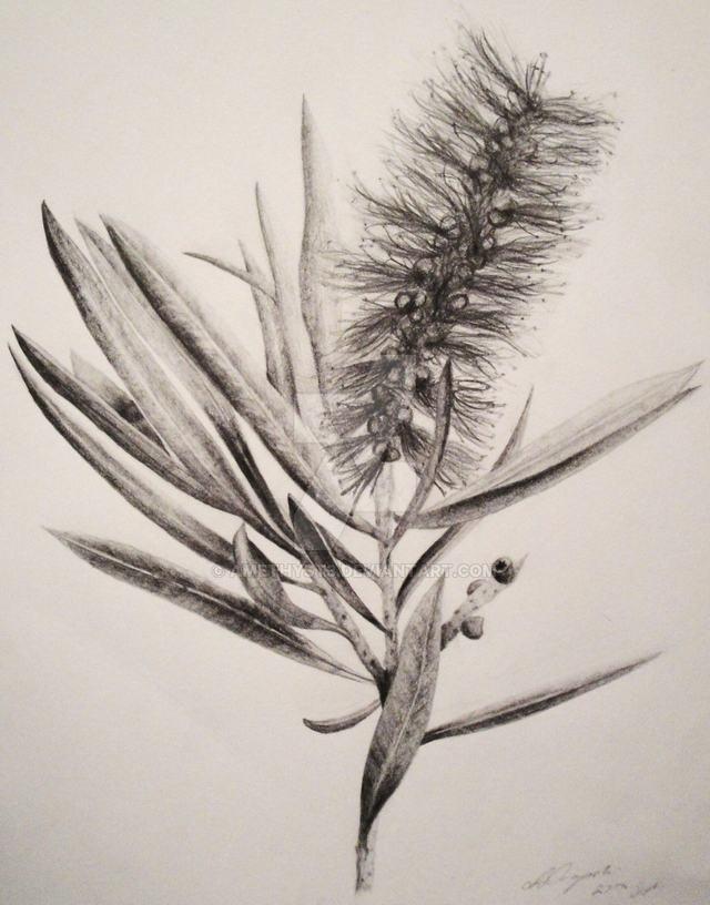 hình vẽ hoa liễu bằng bút chì