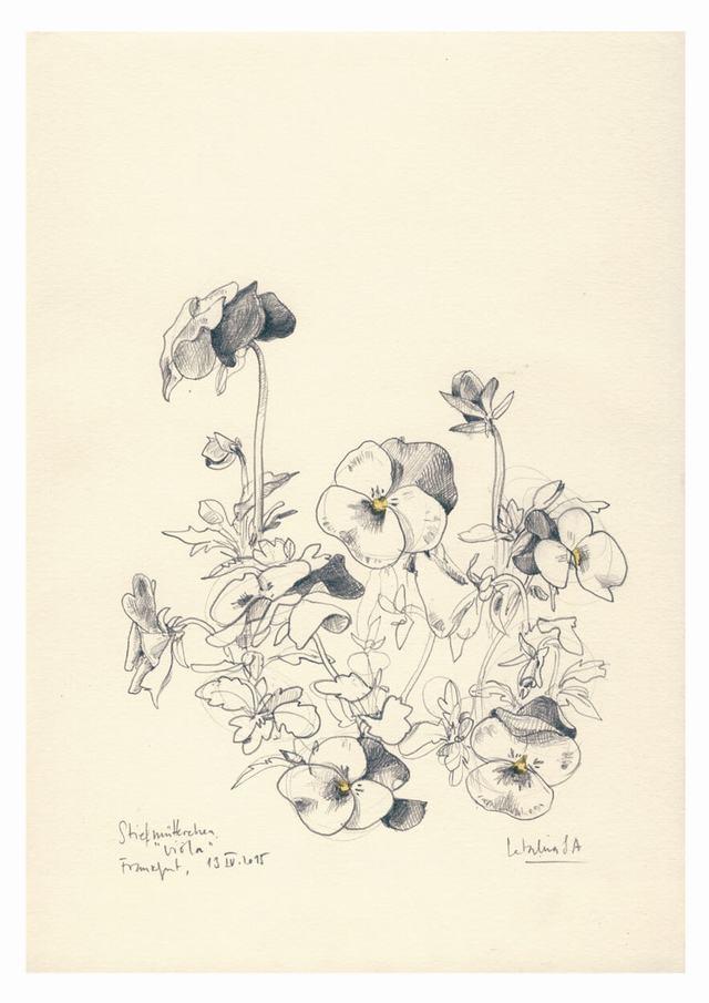hình vẽ hoa dạ yến thảo bằng bút chì