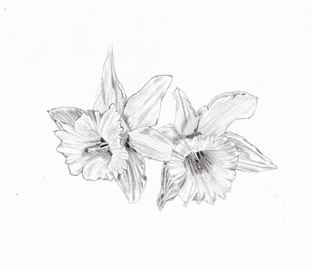 hình vẽ hoa thủy tiên bằng bút chì