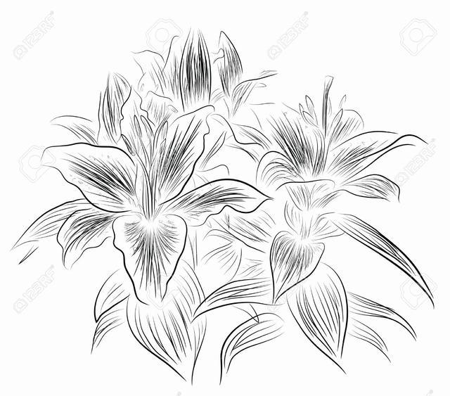 hình vẽ hoa lily cách điệu bút chì