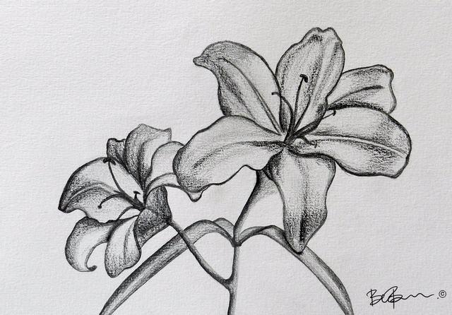 hình vẽ hoa lily bằng bút chì