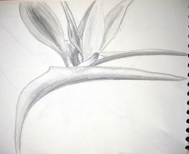 hình vẽ hoa thiên điểu bằng bút chì