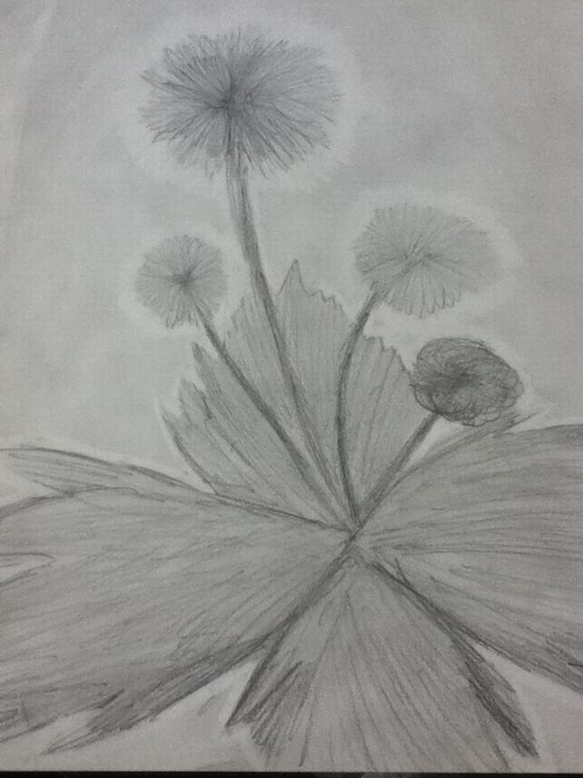 hoa-bo-cong-anh-bang-but-chi-Dandelion-pencil (1)