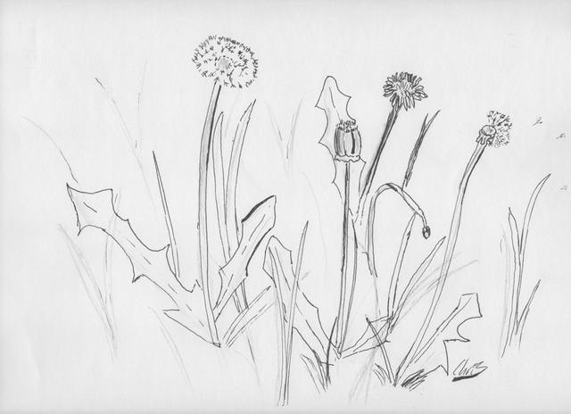 hoa-bo-cong-anh-bang-but-chi-Dandelion-pencil (2)