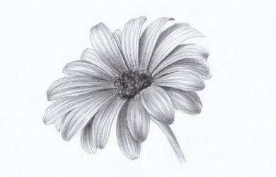 hoa cúc bằng bút chì
