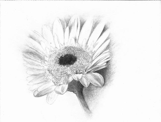 hoa-cuc-pencil-daisy (2)