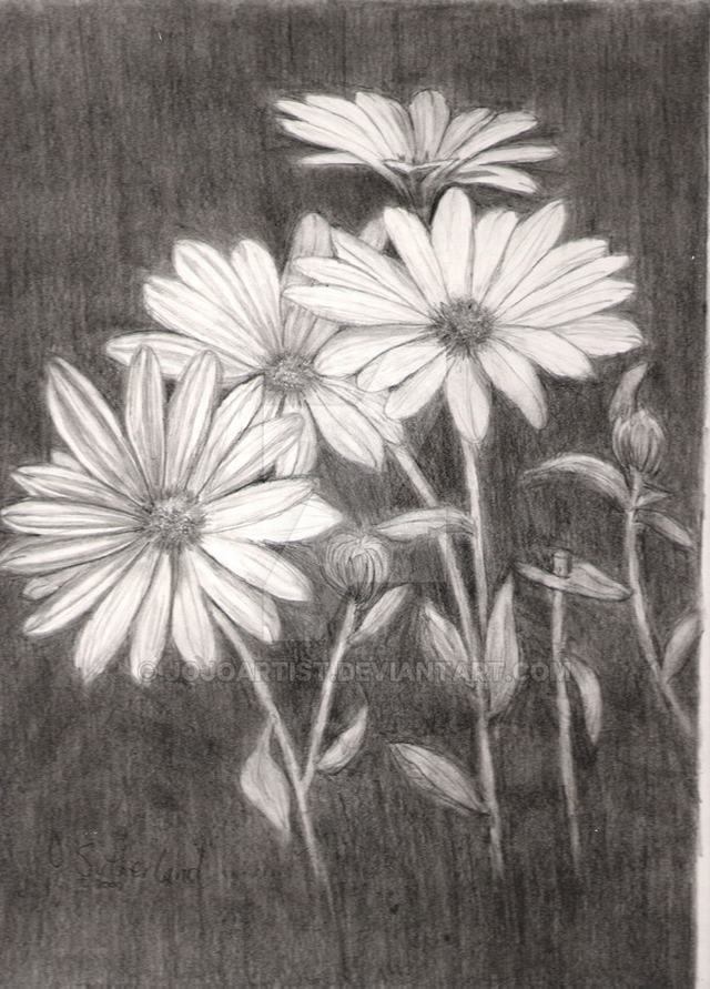hoa-cuc-pencil-daisy (8)