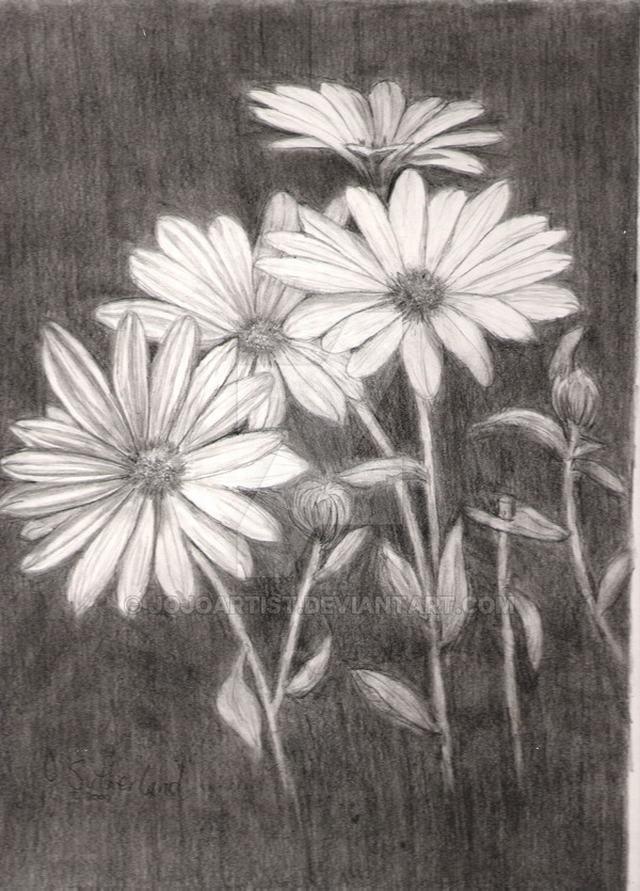 hoa-cuc-pencil-daisy (8)