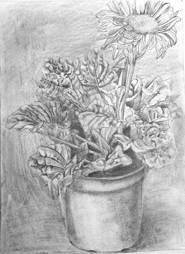hoa-cuc-pencil-daisy (9)