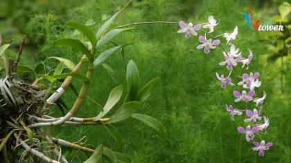 hoa-lan-rung