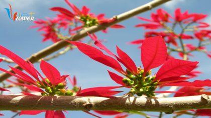hoa trạng nguyên