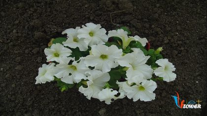 hoa dạ yên thảo