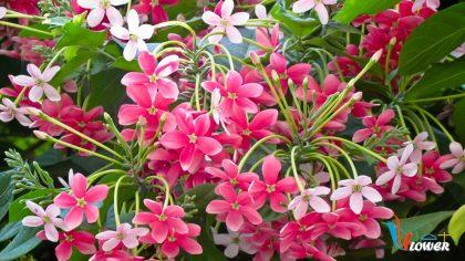 hoa sử quân tử
