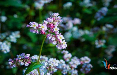 hoa tam giác mạch đẹp