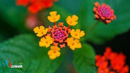 hoa ngũ sác