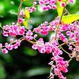 Hoa ti-gon