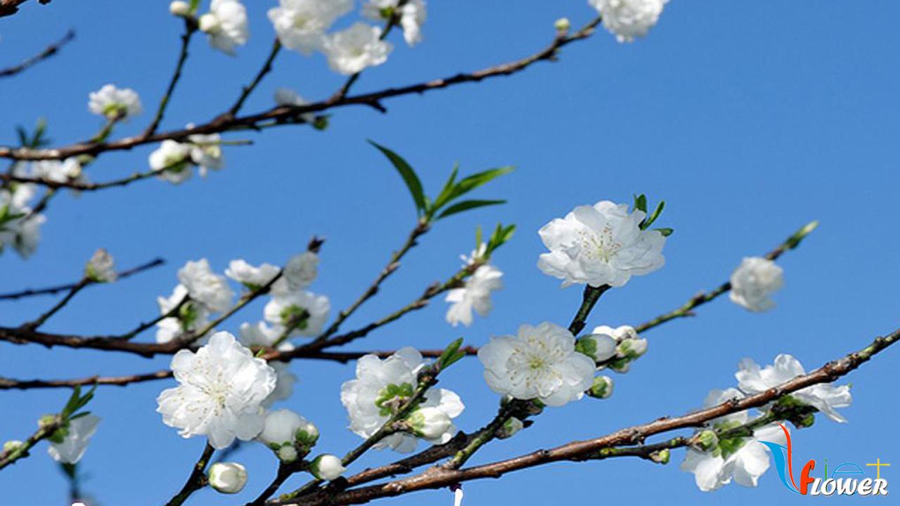 Hoa đào trắng