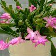 Hoa lan nhật quỳnh, hoa càng cua