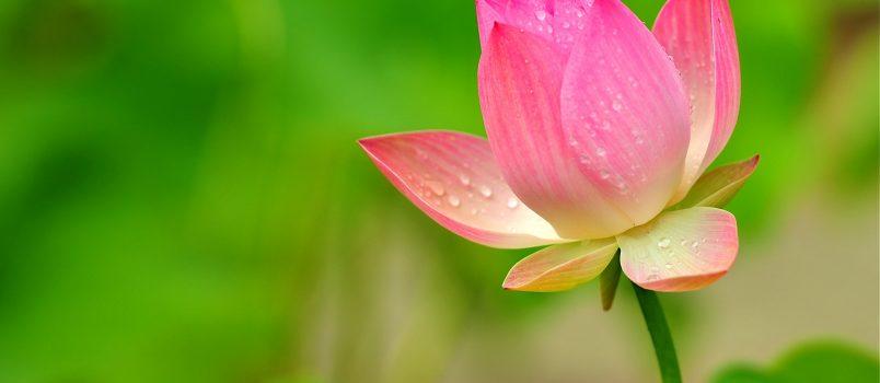 hinh nen hoa sen