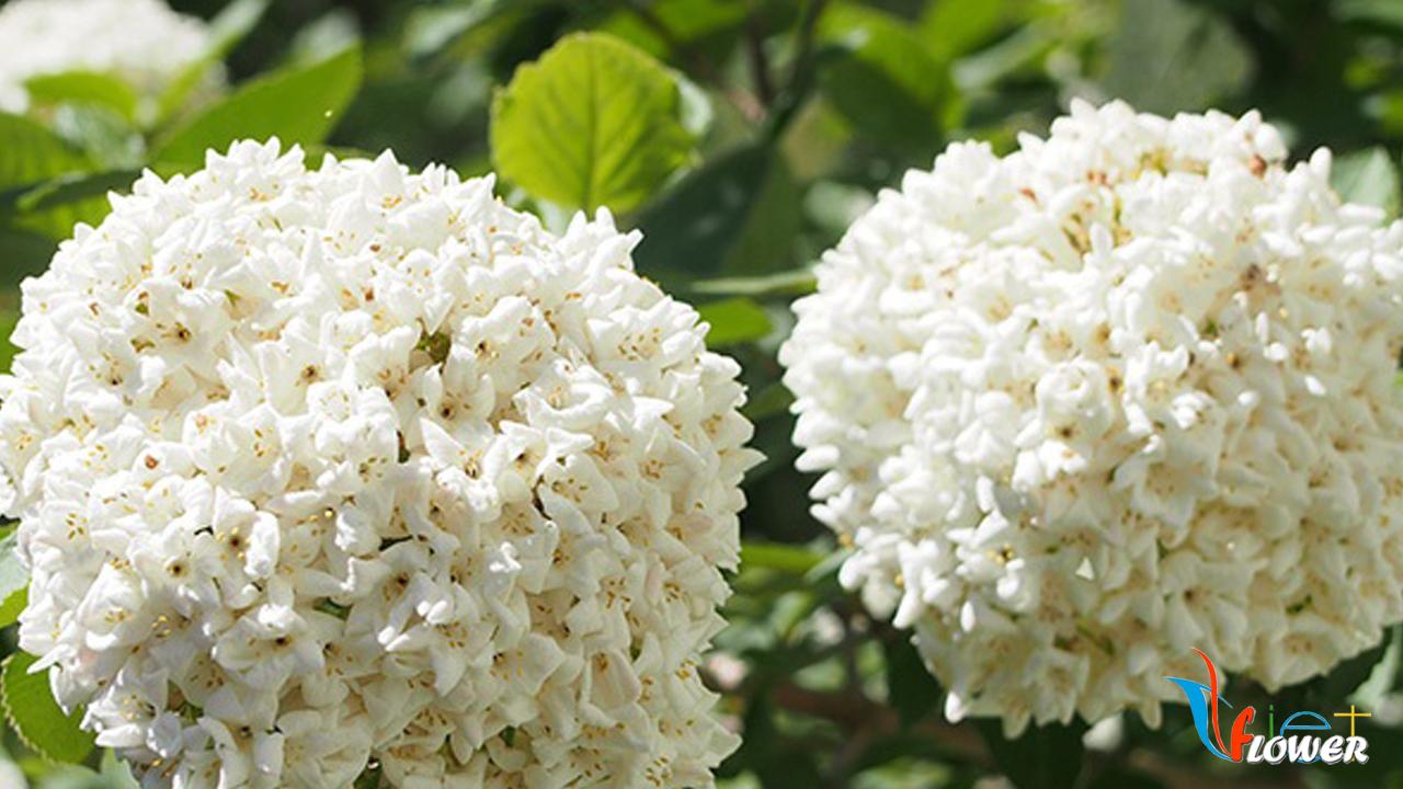 Hoa hương tuyết cầu