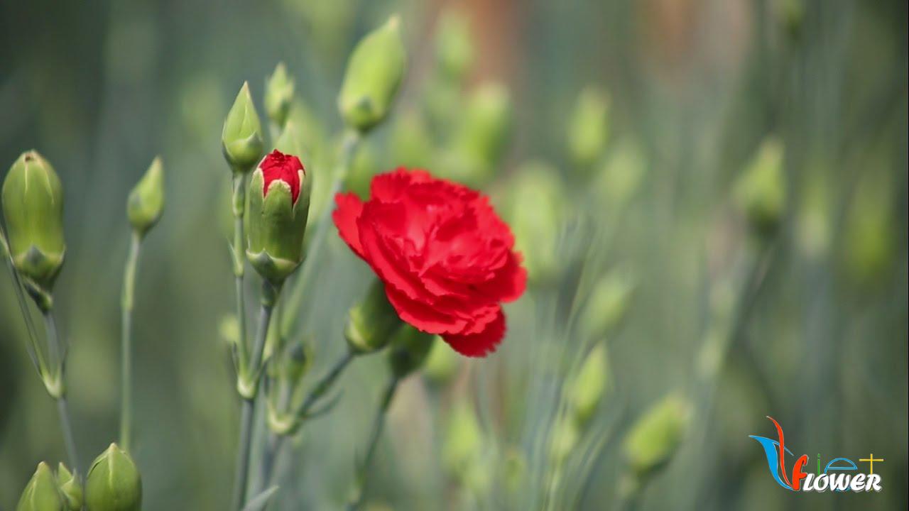 Hoa cẩm chướng