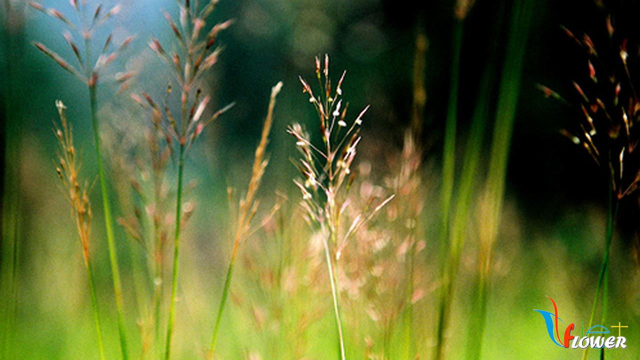 Hoa cỏ may