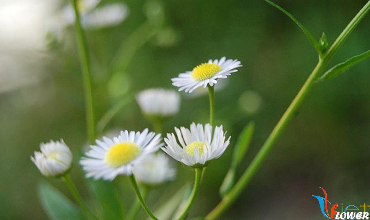 Cúc trắng