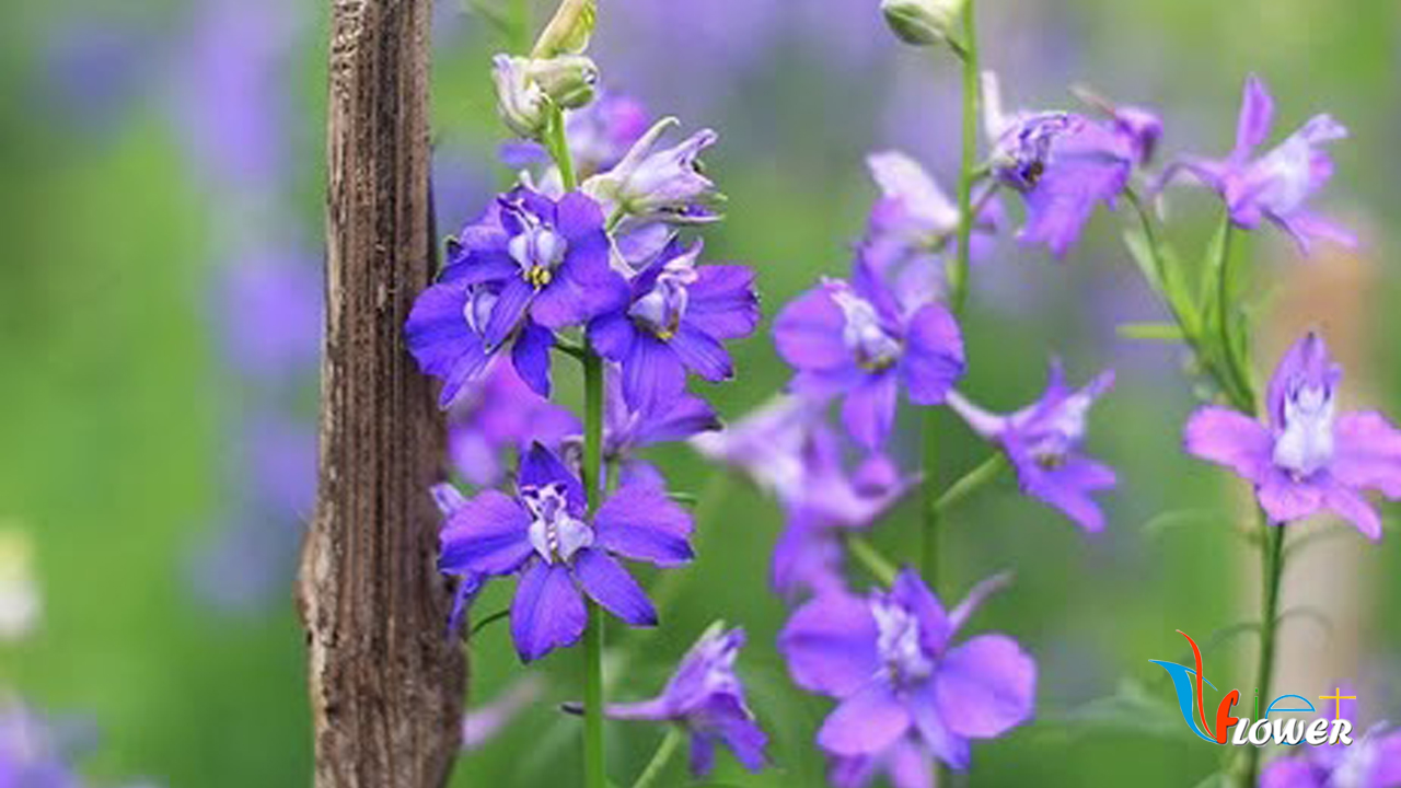 Hoa Violet - Hoa Phi yến