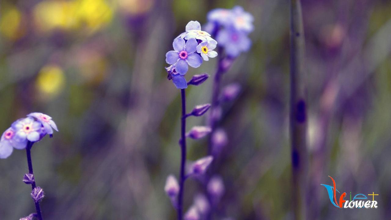Hoa Violet - Hoa phi yen