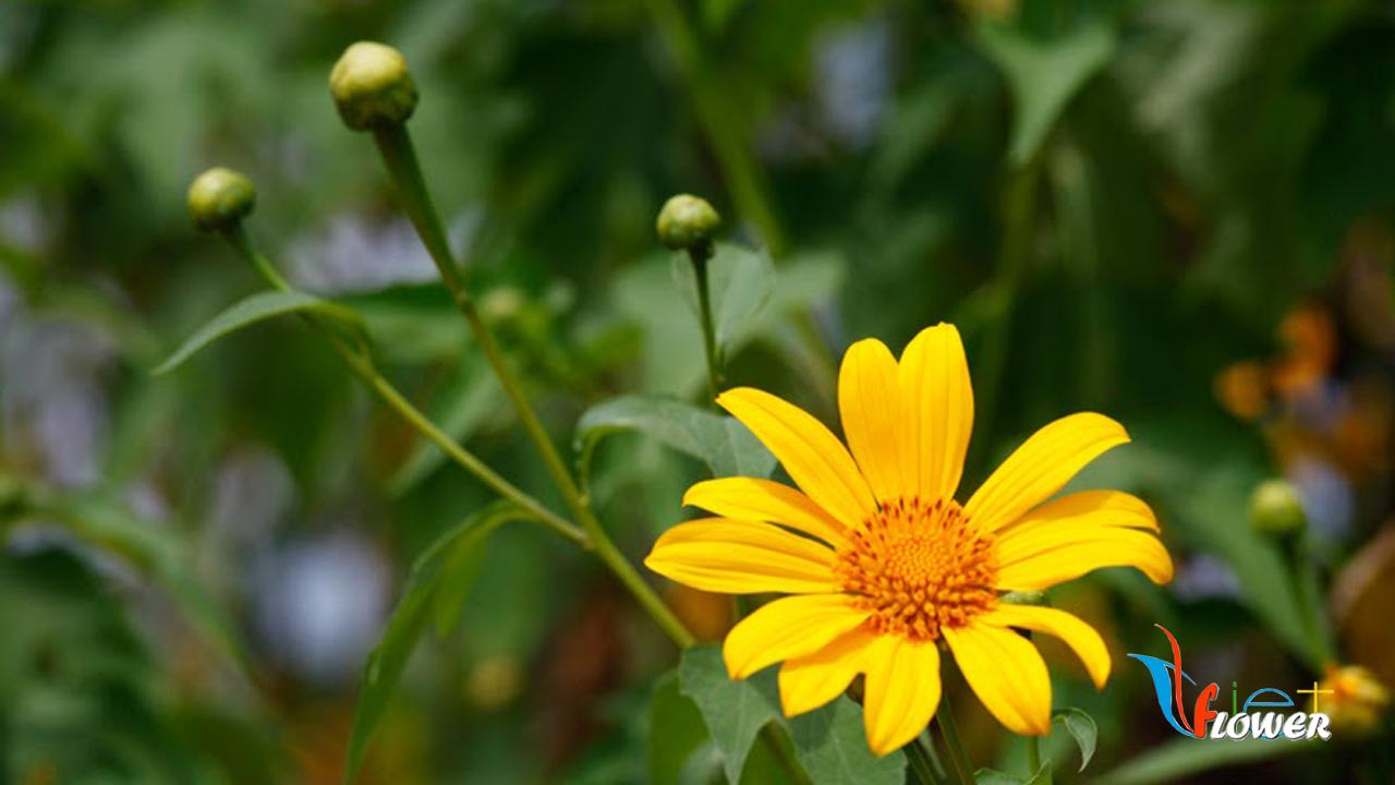 Hoa dã quỳ