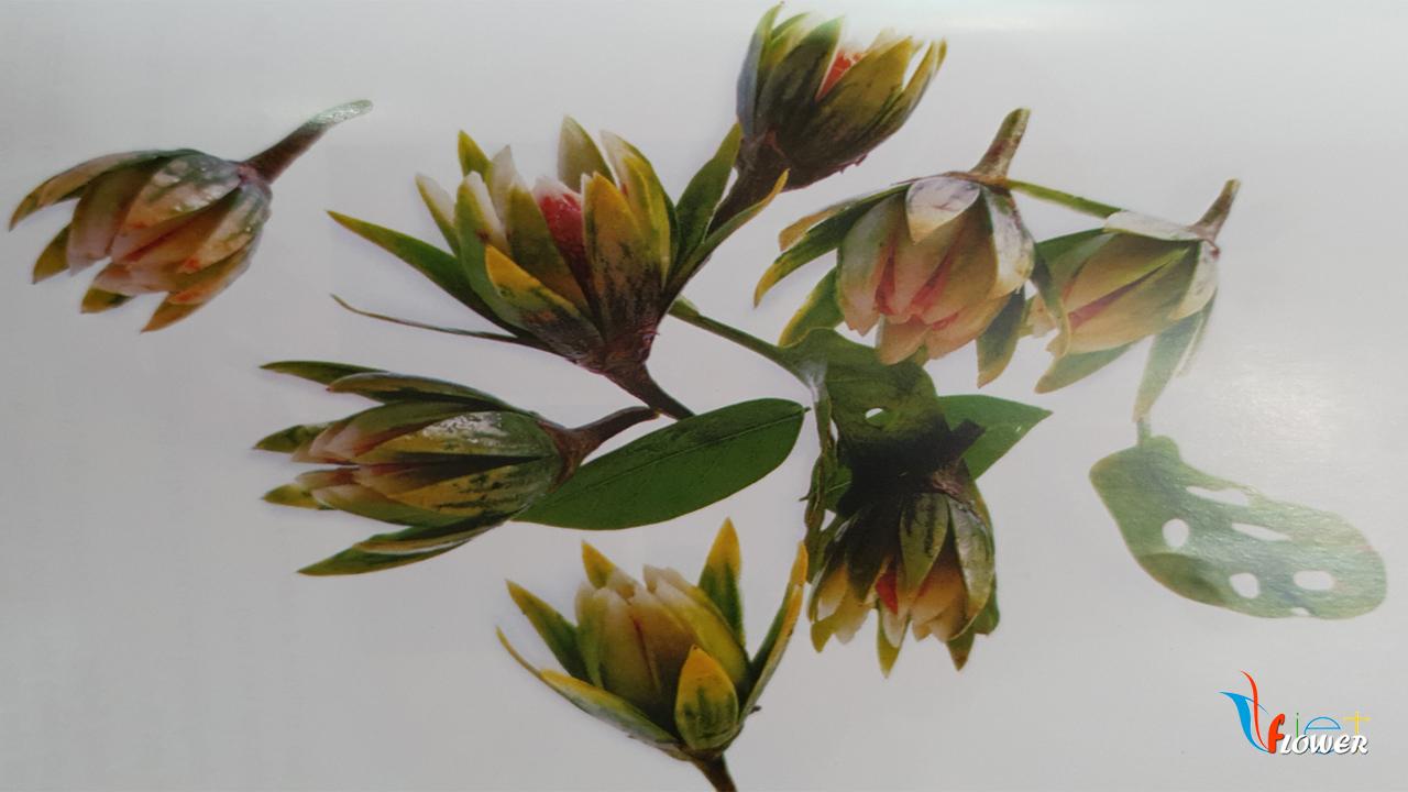 Tia hoa từ trái cà
