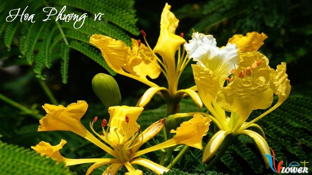 Hoa phượng vỹ vàng